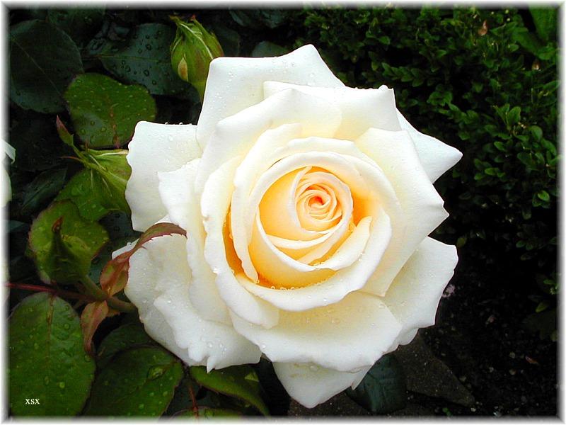 Rose Ambiente