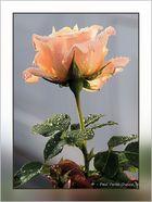 Rose Anoneii