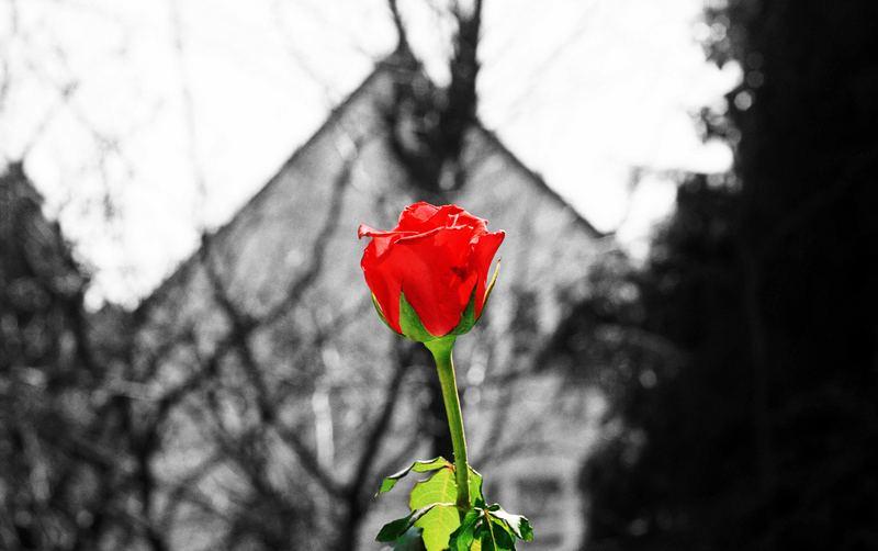 Rose auf der Fensterbank