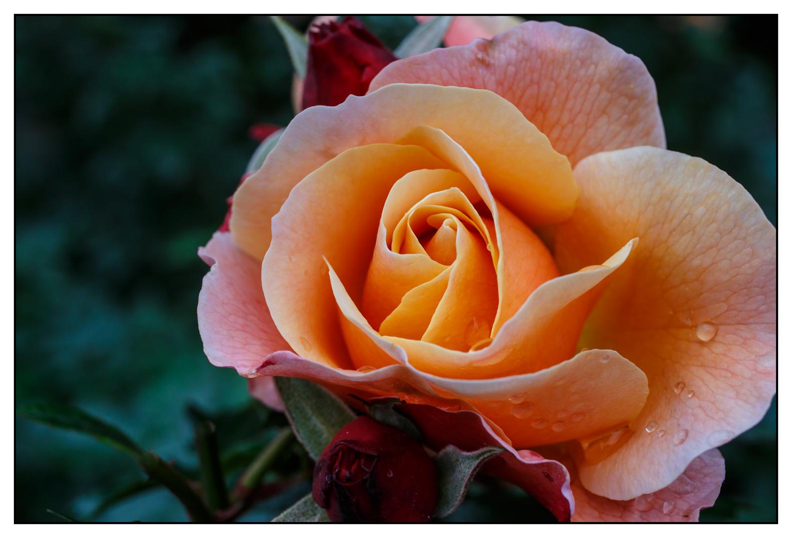 Rose auf der Mainau (I)