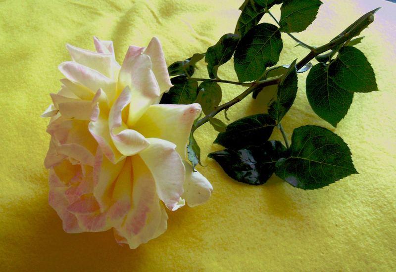 rose auf gelben grund