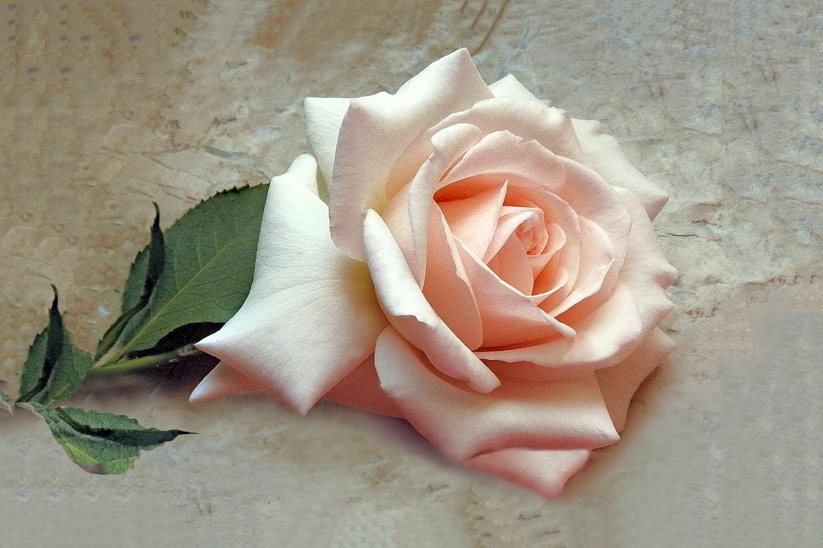 Rose auf meinem Fensterbank