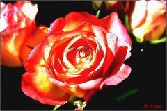 Rose aus anderer Sicht