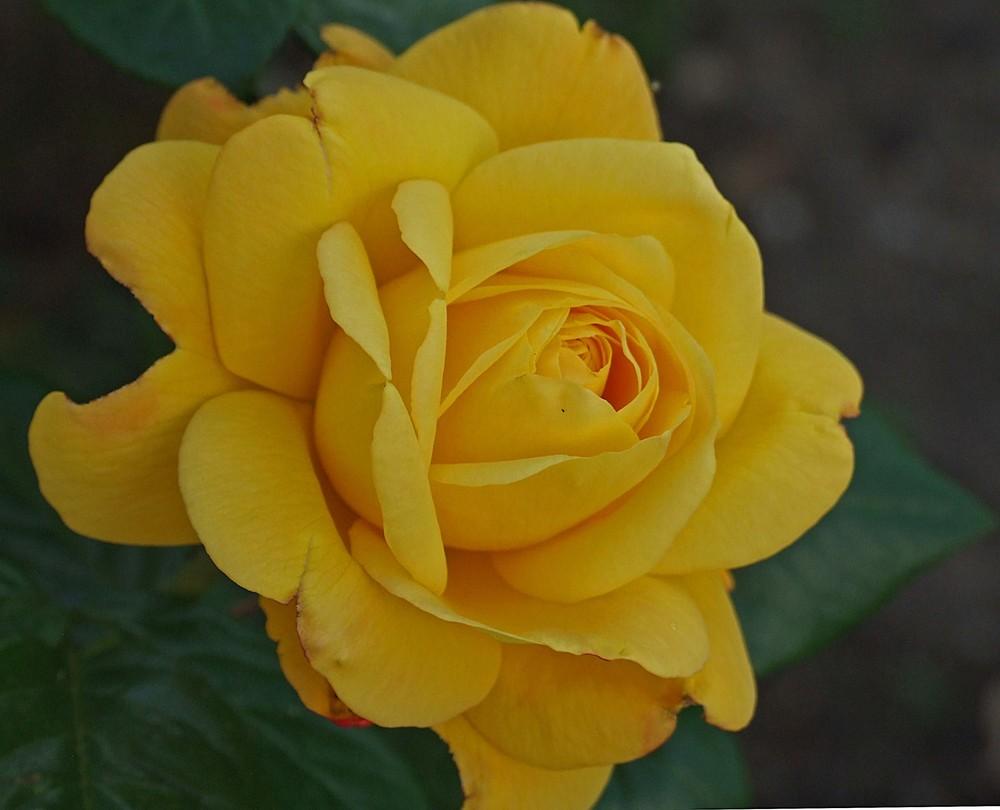 Rose aus unserem Garten 2