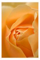 Rose :-)