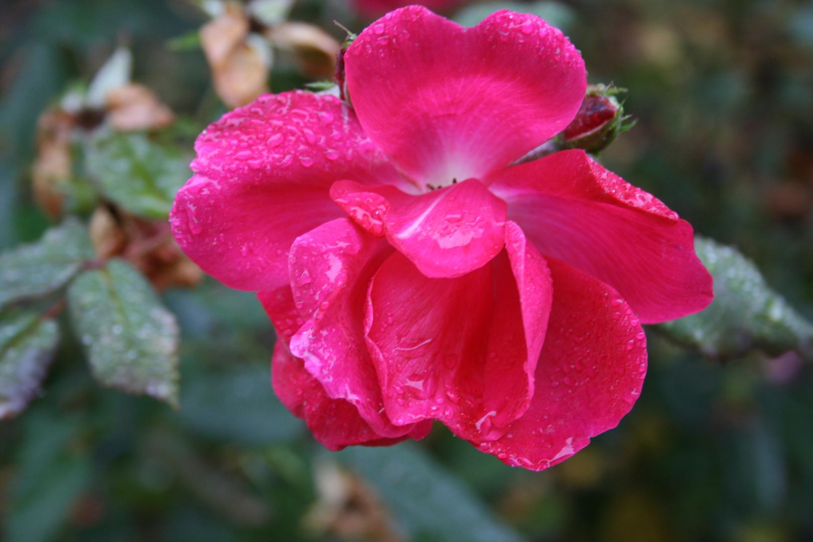rose bagnate 2