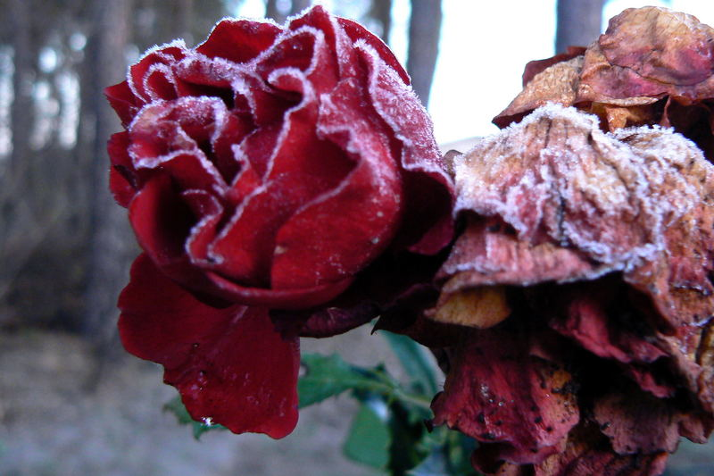 rose before winter comes