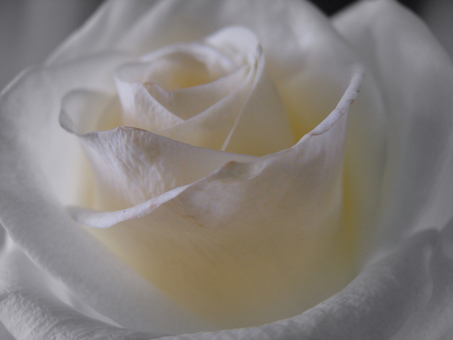 rose blanche 2