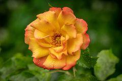 "Rose ""Bonanza"" I"