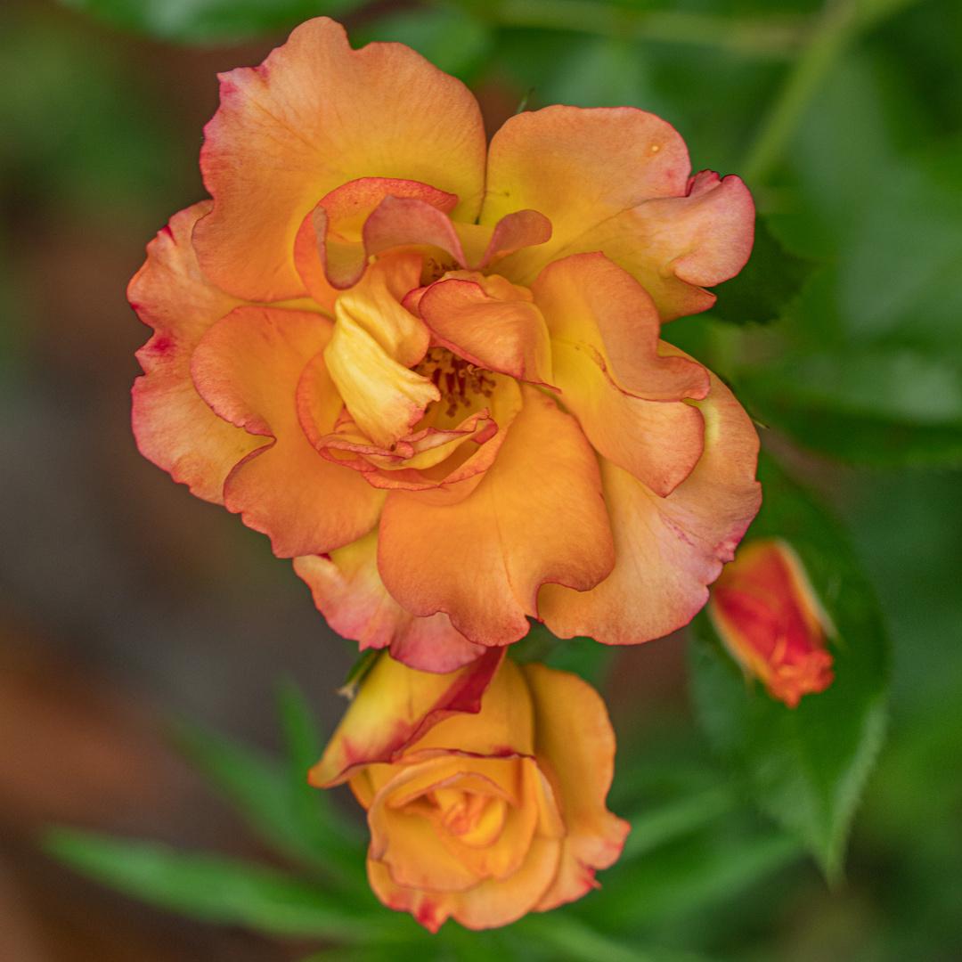 "Rose ""Bonanza"" III"