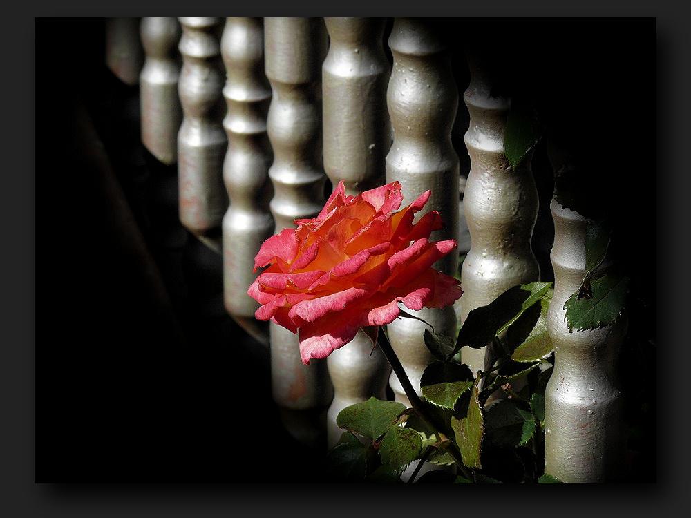 | | | | Rose | | |