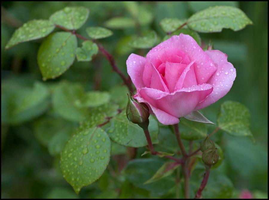 Rose 'Centenaire de Lourdes'