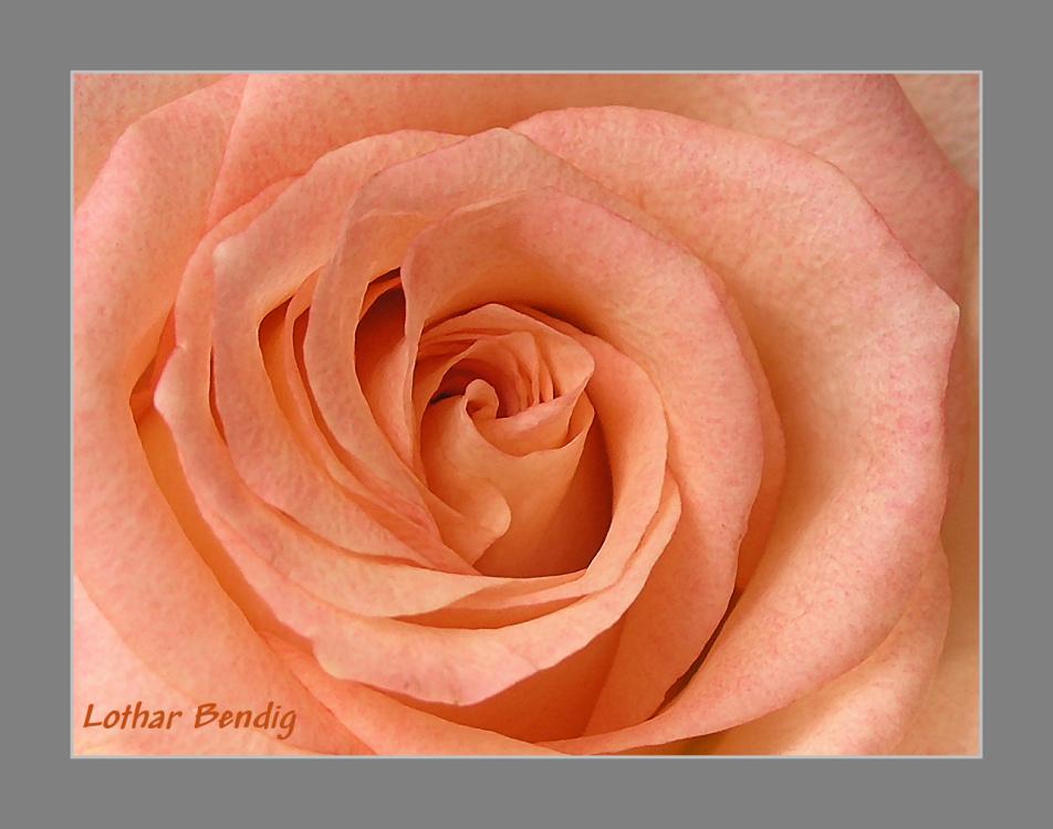 rose colour