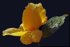 rose d hiver......  2ème version