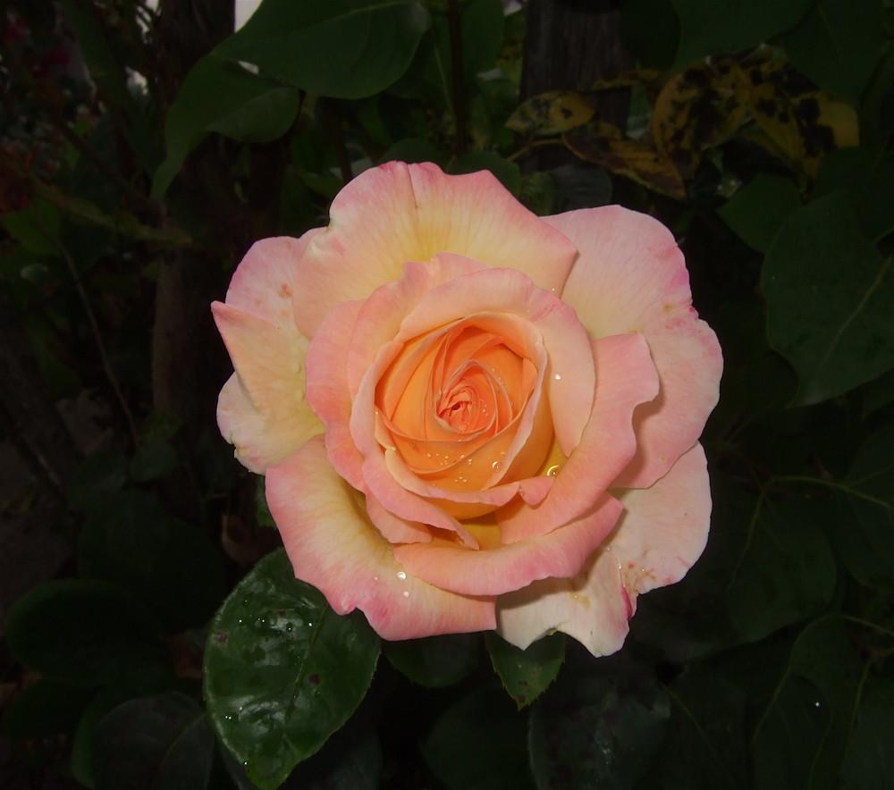 Rose dans le noir