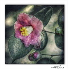 *rose de beauté*