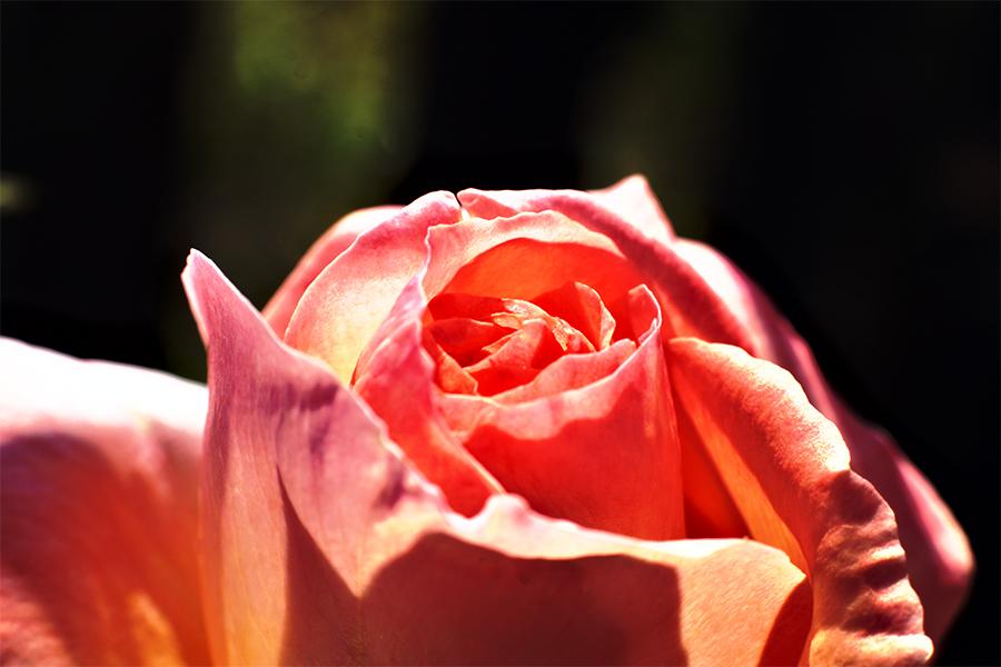 Rose de la vie 3