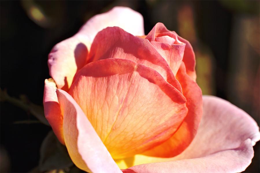 Rose de la vie