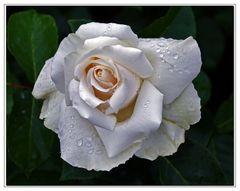 rose de mai...