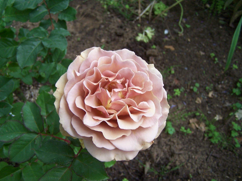 Rose de mon jardin.