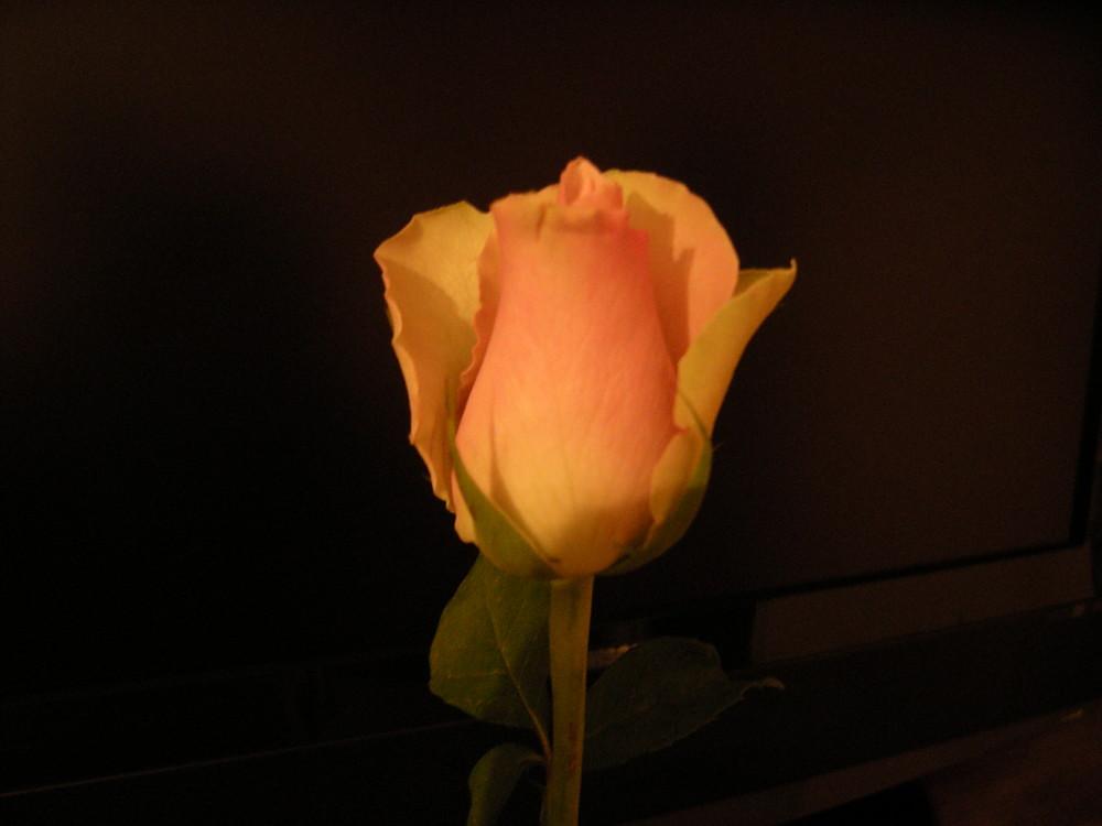 Rose de nuit juste avant épanouissement
