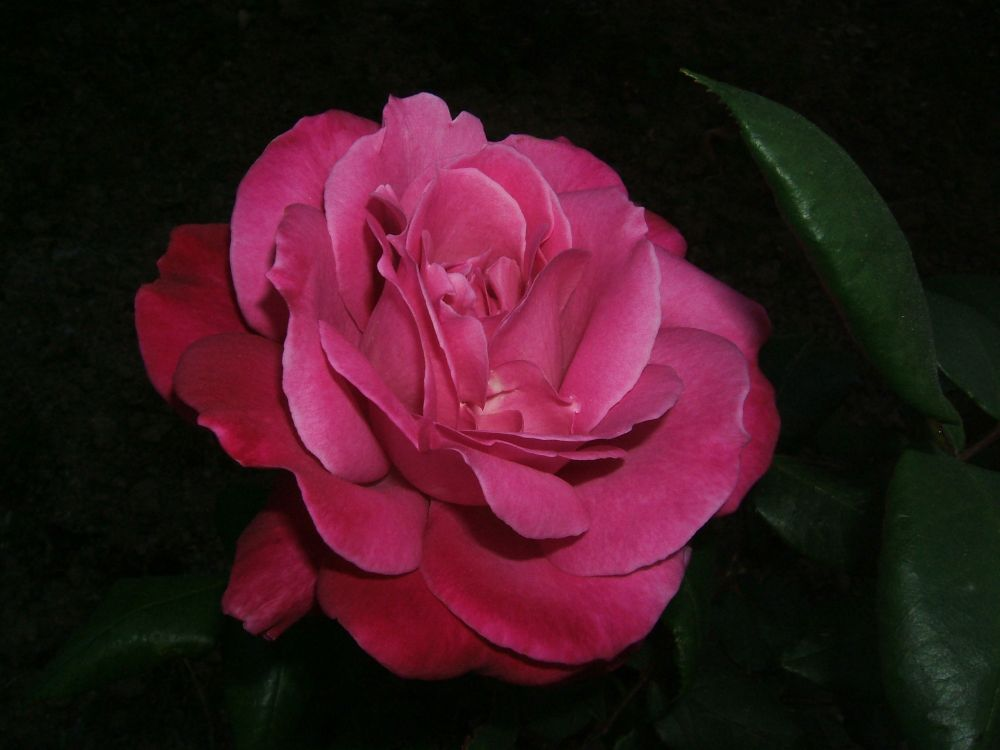 Rose del mio giardino 3
