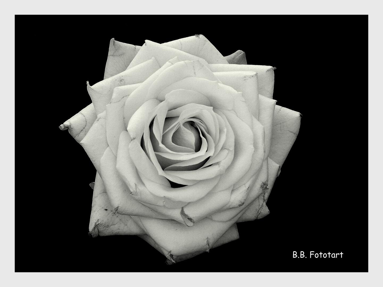 Rose der ...Traurigkeit...