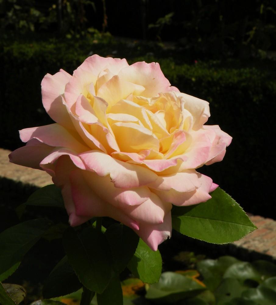 Rose d'Espagne.