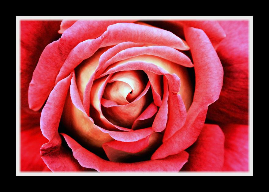 - rose detail - @)->--
