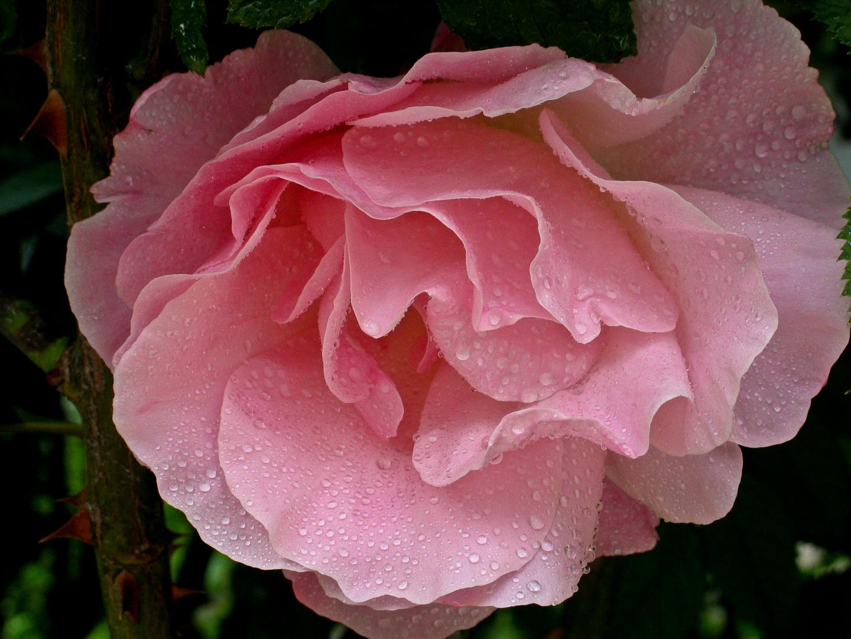 Rose die dritte