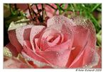 Rose - die nächste