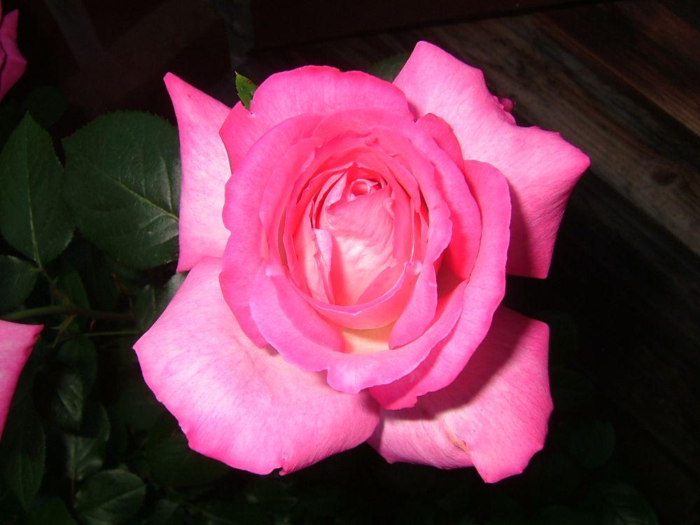 Rose die zweite