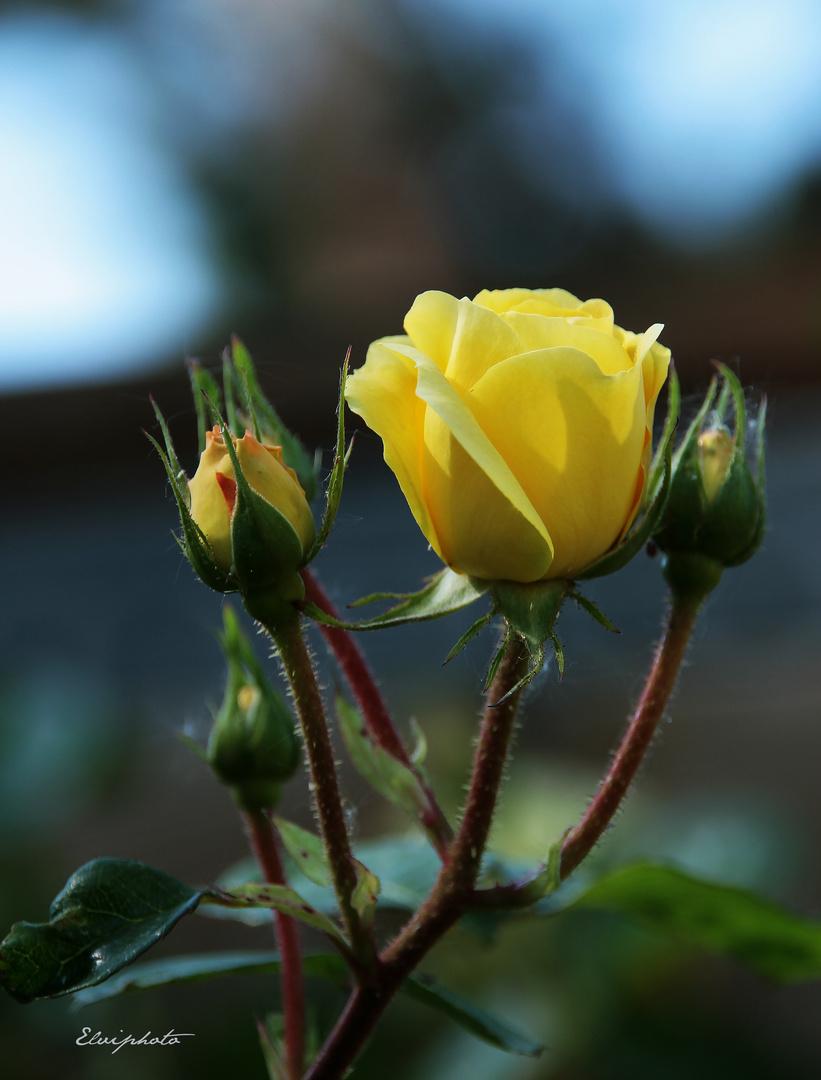 """Rose """"d'or"""""""