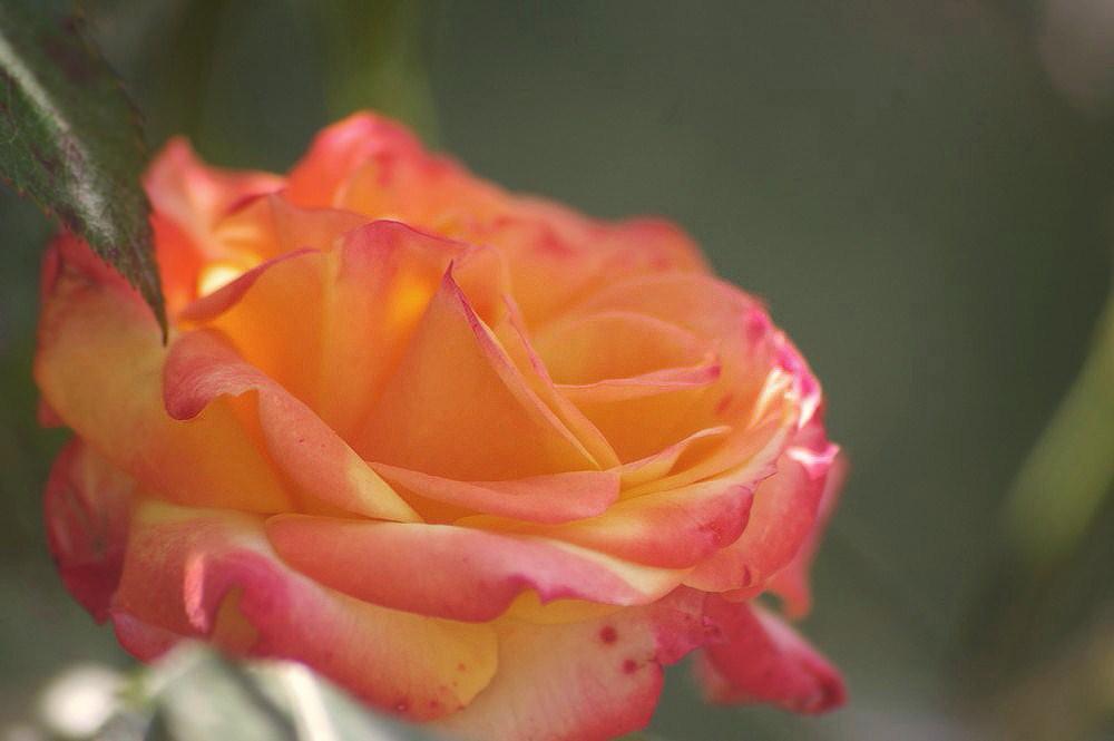 Rose du jardin 2