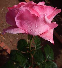 rose du jardin et sa rosèe