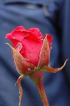 rose d'un jour