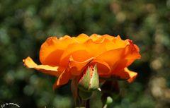 rose dunkel