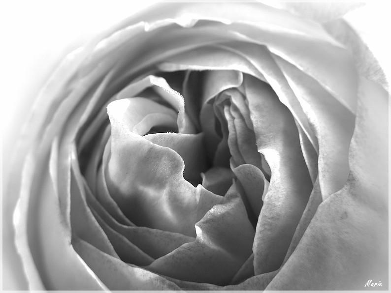 Rose en coeur