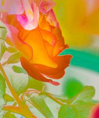 Rose-experimental (1 von 1)