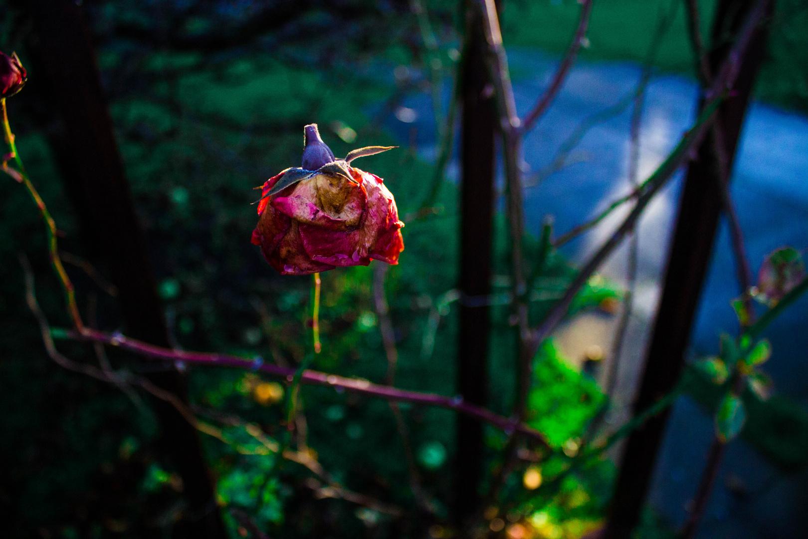Rose-Extreme Farben