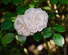 Rose #