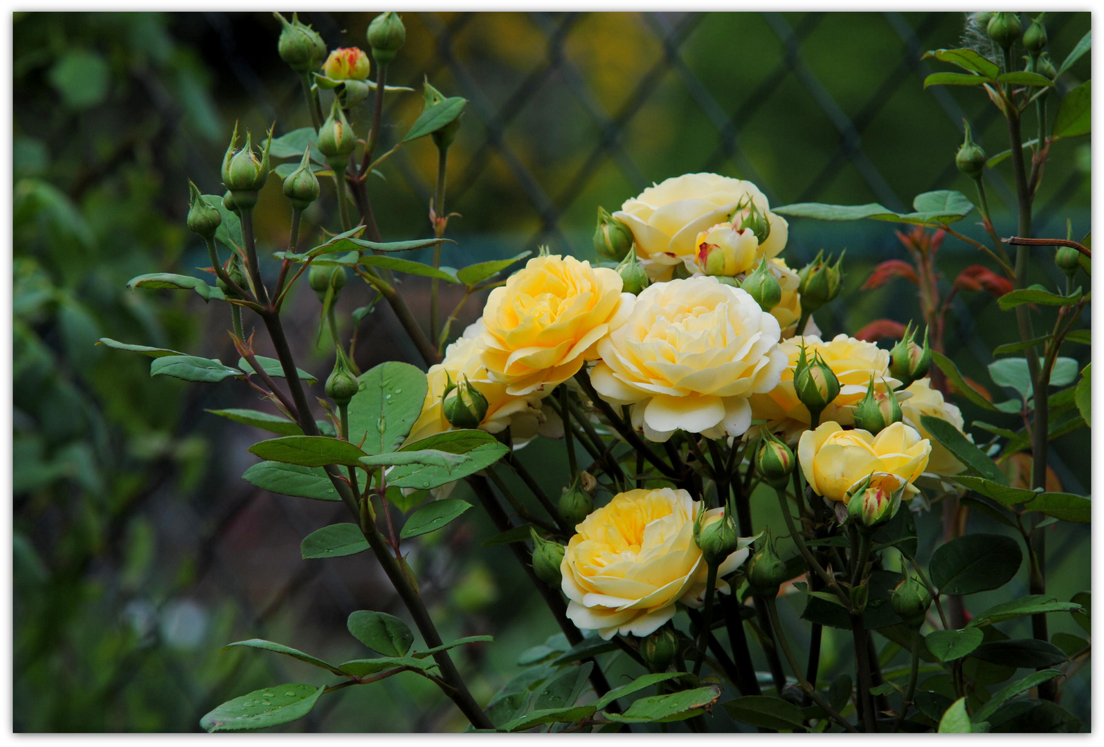 Rose Fragrant old Yellow