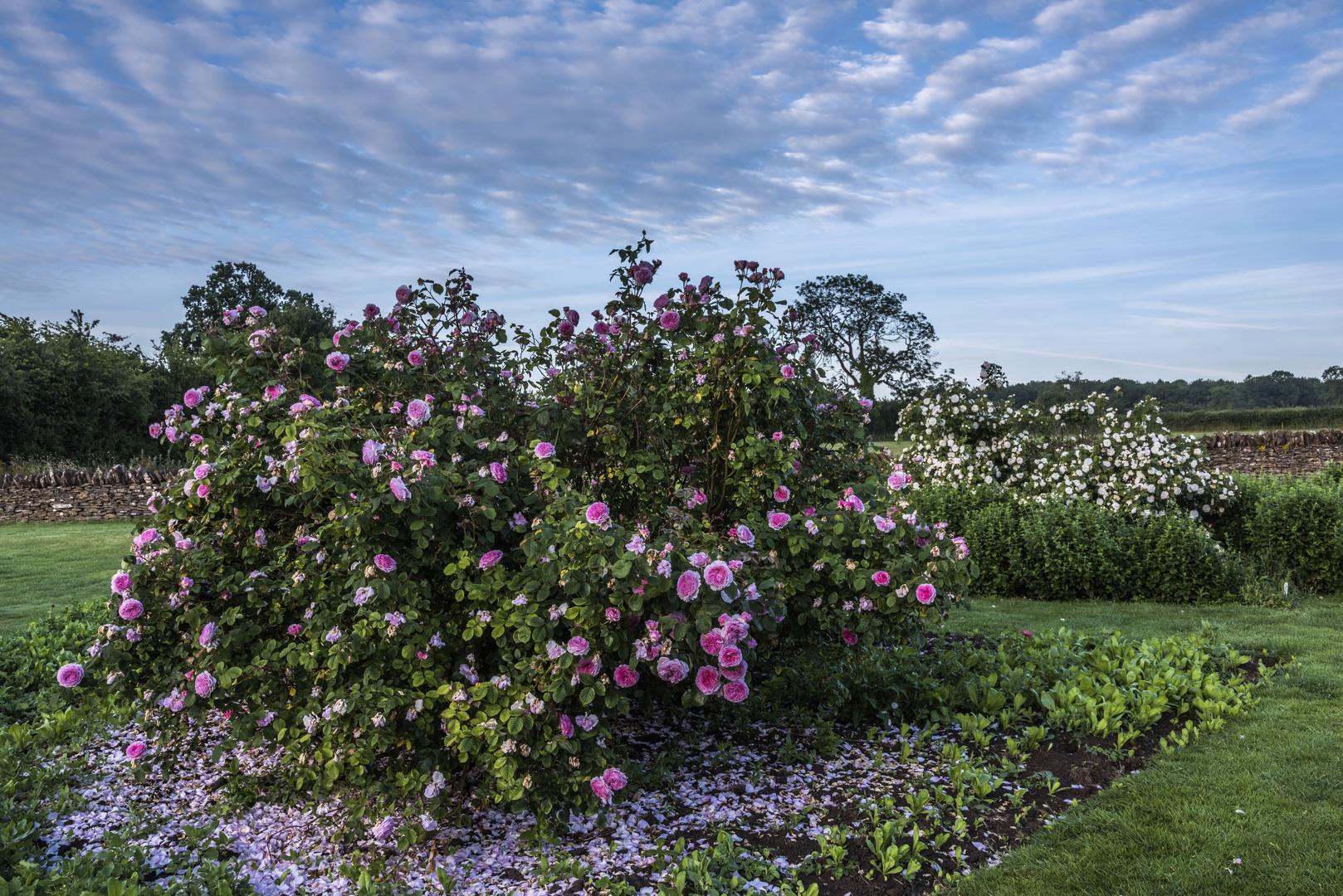 *rose garden*