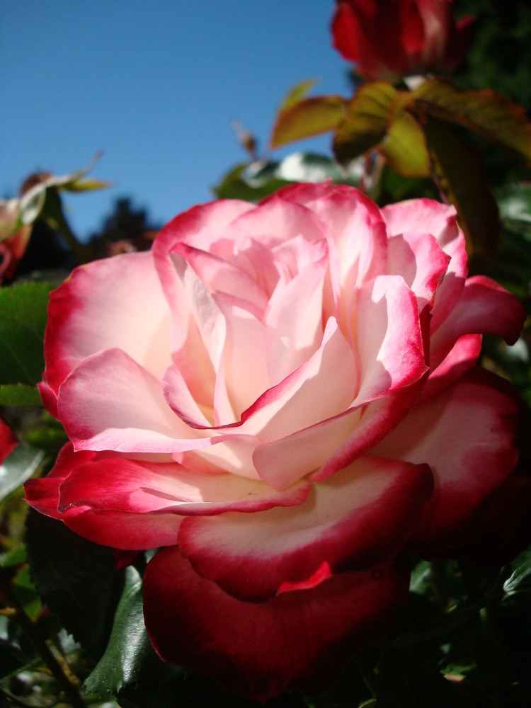 Rose Garden: Golden Gate Park SF