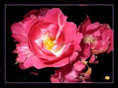 * Rose gefunden * die schenke ich Euch!
