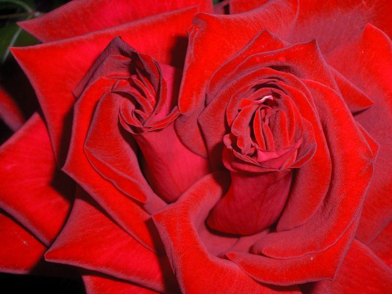 rose gemelle