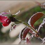 Rose givrée 1 - Rose mit Raureif 1