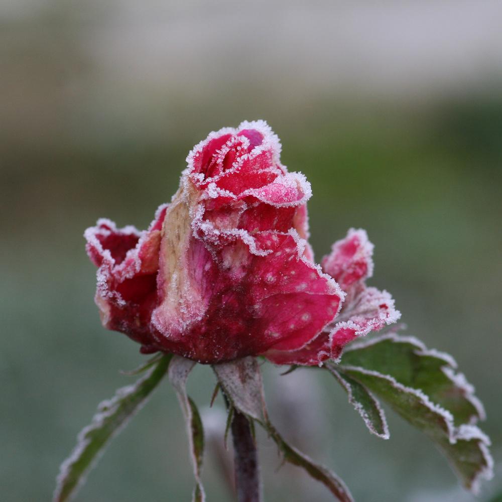 rose givrée2