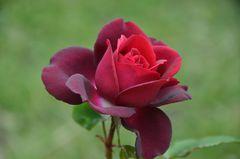 Rose Gräfin Diana
