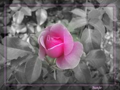 Rosé & Gris